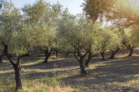 olive green: Mediterranean olive field with old olive tree ready for harvest