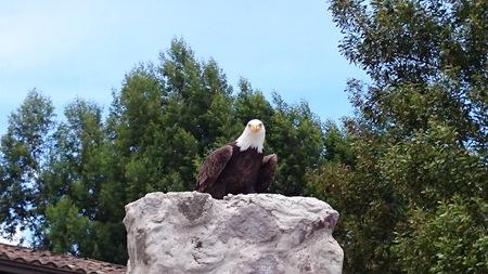 bald eagle: Bald eagle on a rock