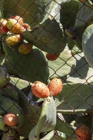 Prickly Pear Fruit or Nopal in the Wild