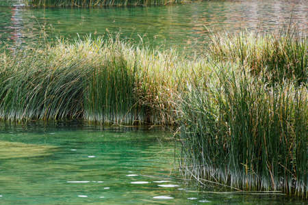 View on green calamus in a river