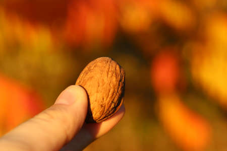 Close up view of a nut holded in hand on autumn blurred backgroud