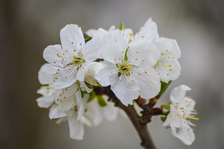 yellow stamens: white plum blossom in the spring close up