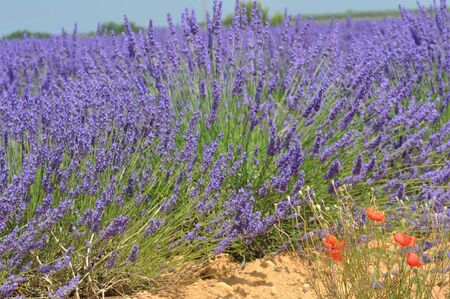 travel to Provence in the south of France. lavender culture and small village. summer scent