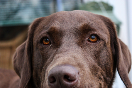 close up of a brown dog with brown eyes