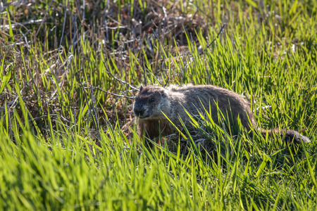 beaver in green grass Stock Photo