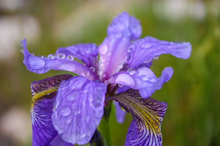 Beautiful fresh iris flowers with water drops