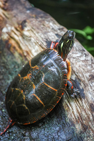 painted turtle on a log Stock Photo
