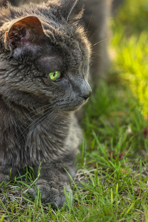 portrait of a grey cat on green grass Stock Photo