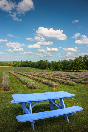 blue picnic table on a lavender field Stock Photo