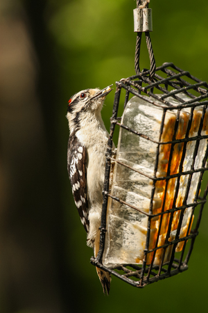 woodpeckers eating