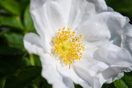 Beautiful white flower with yellow stamen stock photo picture and beautiful white flower with yellow stamen stock photo 79522546 mightylinksfo