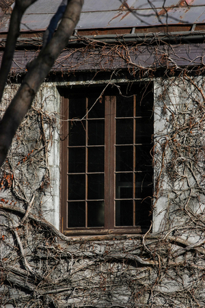 old wood window with vine all around Stock Photo