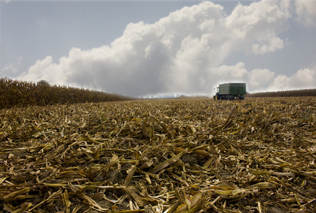 Corn harvest. A corn field during summer afternoon in rural Stockfoto