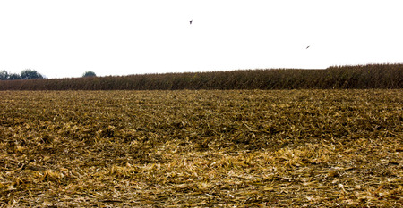 Corn harvest. A corn field during summer afternoon in rural Stock Photo