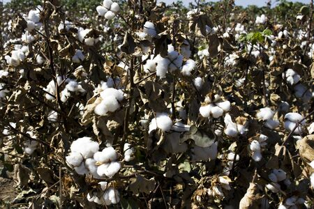 Cotton Field and boll ready for harvesting Stockfoto