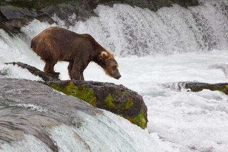 Grizzly bear in Alaska Katmai National Park hunts salmons (Ursus arctos horribilis) 写真素材