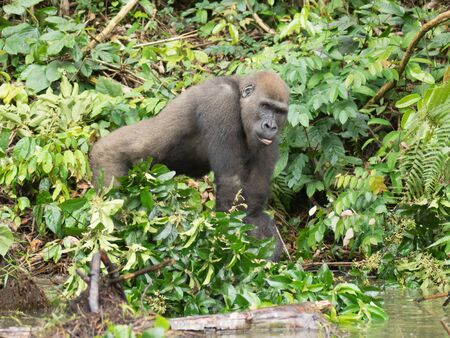 Gorilla in Gabon Endangered eastern gorilla in the beauty of african jungle (Gorilla gorilla) Imagens
