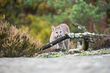 An endangered Florida PantherCougar(Puma concolor Stock Photo