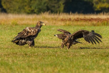 Haliaeetus albicilla, White-tailed Eagle, Sea Eagle, Poland
