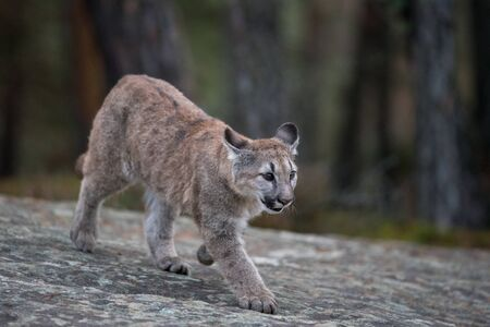An endangered Florida PantherCougar(Puma concolor)
