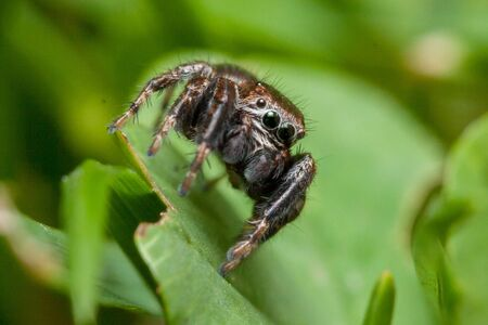 Evarcha arcuata Jumping Spider Macro Shot in nature