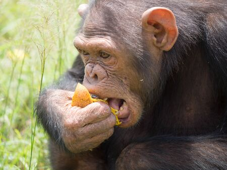 Chimpanzee consists of two extant species: the common chimpanzee and the bonobo. Together with humans, gorillas and orangutans they are part of the family Hominidae (the great apes). (Pan troglodytes) Stock Photo