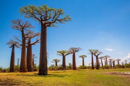 Hermosos árboles baobabs al atardecer en la avenida de los baobabs en Madagascar Foto de archivo