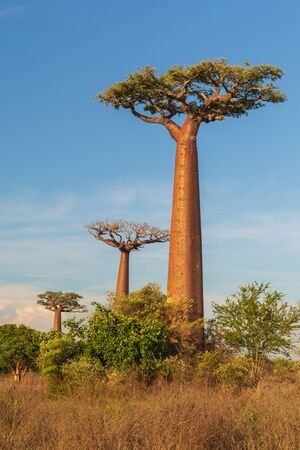 Beautiful Baobab trees at sunset at the avenue of the baobabs in Madagascar Banque d'images