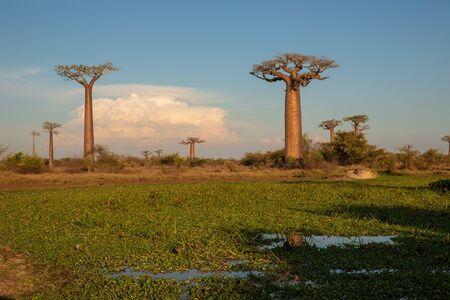 Beautiful Baobab trees at sunset at the avenue of the baobabs in Madagascar Фото со стока