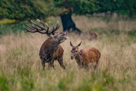 Red Deer Stags (Cervus elaphus) 版權商用圖片