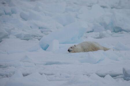 Polar bear of Spitzbergen (Ursus maritimus) Stock Photo