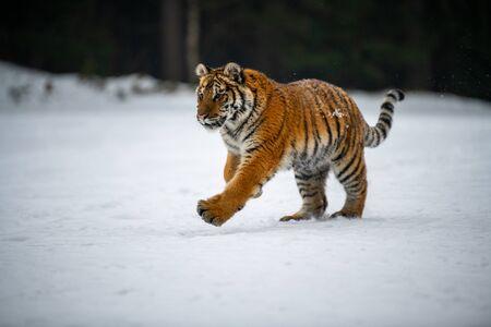 Tygrys syberyjski na śniegu (Panthera tigris) Zdjęcie Seryjne