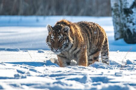 Siberian Tiger in the snow (Panthera tigris) 스톡 콘텐츠 - 128649231