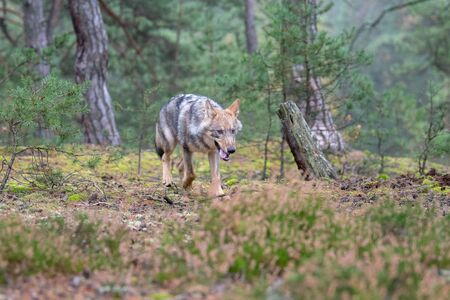 Close up portrait of a grey wolf (Canis Lupus) also known as Timber wolf displaying an agressive facial dominant expression in the Canadian forest during the summer months Imagens