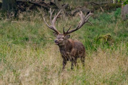 Red Deer Stags (Cervus elaphus) Reklamní fotografie