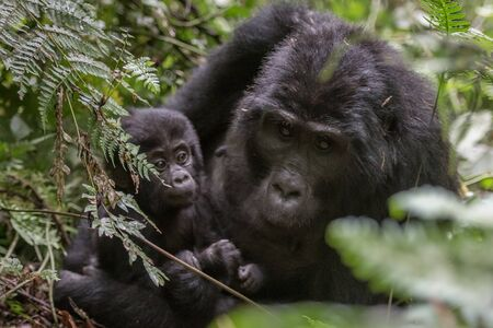 Mountain gorillas in the rainforest. Uganda. Bwindi Impenetrable Forest National Park. An excellent illustration