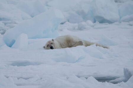 Polar bear of Spitzbergen (Ursus maritimus) Фото со стока