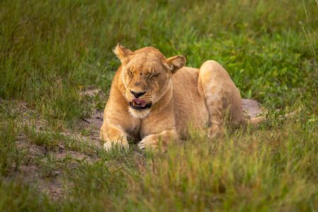 Mighty Lion watching the lionesses who are ready for the hunt in Masai Mara, Kenya (Panthera leo) Imagens - 128707846