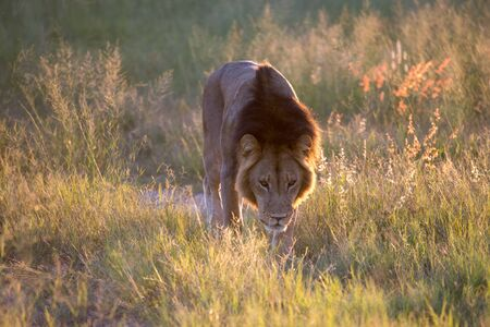 Mighty Lion watching the lionesses who are ready for the hunt in Masai Mara, Kenya (Panthera leo)