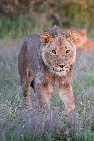 Mighty Lion watching the lionesses who are ready for the hunt in Masai Mara, Kenya (Panthera leo) Imagens - 128650644