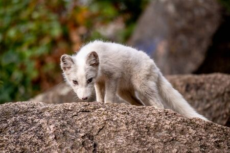Beautiful wild animal in the grass. Arctic Fox, Vulpes lagopus, cute animal portrait in the nature habitat, grassy meadow with flowers, Svalbard, Norway.