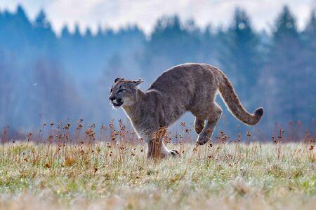 Puma (Puma concolor), también conocido comúnmente como león de montaña, puma, pantera o catamount. es el más grande de los grandes mamíferos terrestres salvajes del hemisferio occidental Foto de archivo