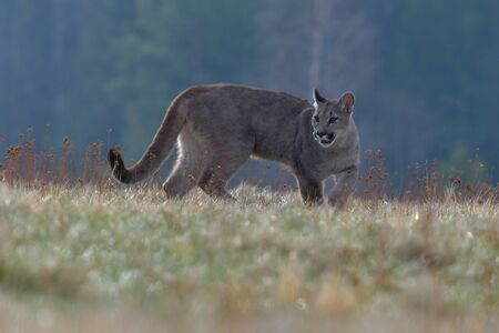 Cougar (Puma concolor), also commonly known as the mountain lion, puma, panther, or catamount. is the greatest of any large wild terrestrial mammal in the western hemisphere Banco de Imagens