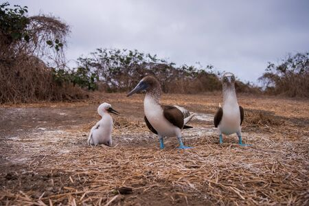 Blue-footed Booby (sula nebouxii) on Isla de la Plata, Ecuador