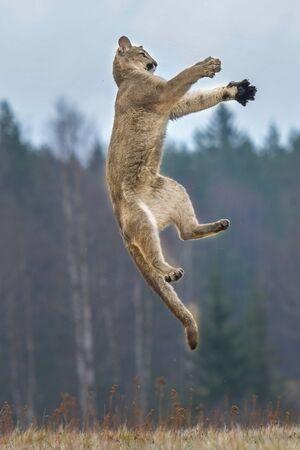Cougar (Puma concolor), powszechnie znany również jako lew górski, puma, pantera lub catamount. jest największym ze wszystkich dużych dzikich ssaków lądowych na półkuli zachodniej Zdjęcie Seryjne