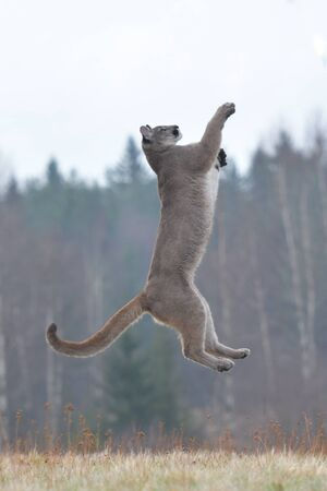 Cougar (Puma concolor), comunemente noto anche come leone di montagna, puma, pantera o catamount. è il più grande di qualsiasi grande mammifero terrestre selvaggio nell'emisfero occidentale western