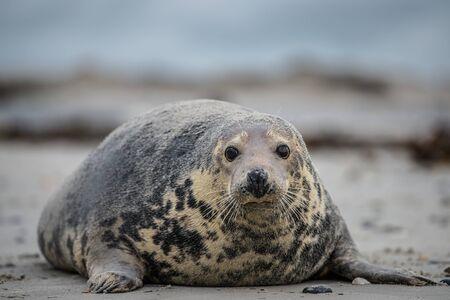 Atlantic Grey Seal Pup on Sandy Beach/Atlantic Grey Seal Pup/Atlantic Grey Seal Pup (Halichoerus Grypus) Stock Photo