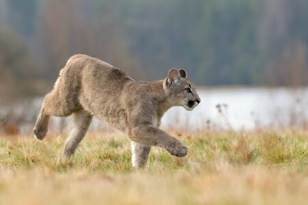 Cougar (Puma concolor), also commonly known as the mountain lion, puma, panther, or catamount. is the greatest of any large wild terrestrial mammal in the western hemisphere Stock Photo