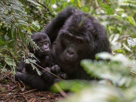 Mountain gorillas in the rainforest. Uganda. Bwindi Impenetrable Forest National Park. An excellent illustration Foto de archivo
