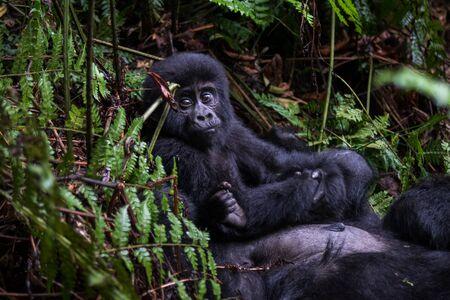 Gorilas de montaña en la selva. Uganda. Parque Nacional del Bosque Impenetrable de Bwindi. Una excelente ilustración